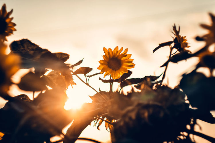 Close-up of yellow flowering plant against sky during sunset
