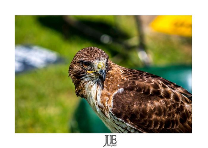 One Animal Animals In The Wild Bird Animal Themes Focus On Foreground Close-up Day Outdoors Animal Wildlife No People Nature Perching Bird Of Prey