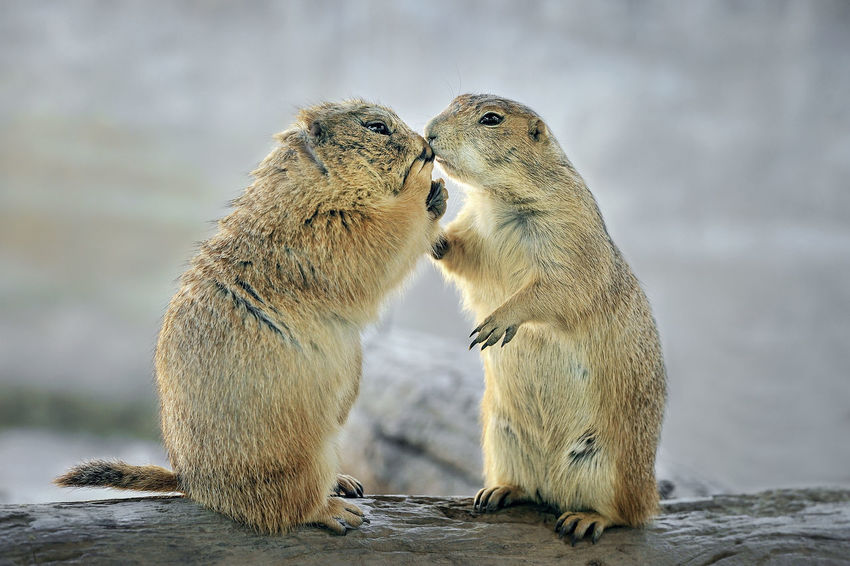 Cute of Prairie Dogs. Kiss Mexico Squirrel Standing Terrestrial Animal Themes Animal Wildlife Animals In The Wild Close-up Cute Day Fauna Friendship Hole Mammal Marmot Meadow Nature No People Outdoors Prairie Dogs Togetherness Two Animals Wildlife Zoology