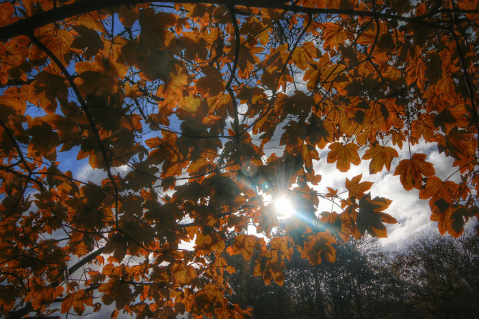 Autumn Beauty In Nature Branch Bright Change Day Growth Leaf Leaves Lens Flare Low Angle View Maple Leaf Nature No People Orange Color Outdoors Plant Plant Part Sky Streaming Sun Sunbeam Sunlight Sunlight And Shadow Tranquility Tree