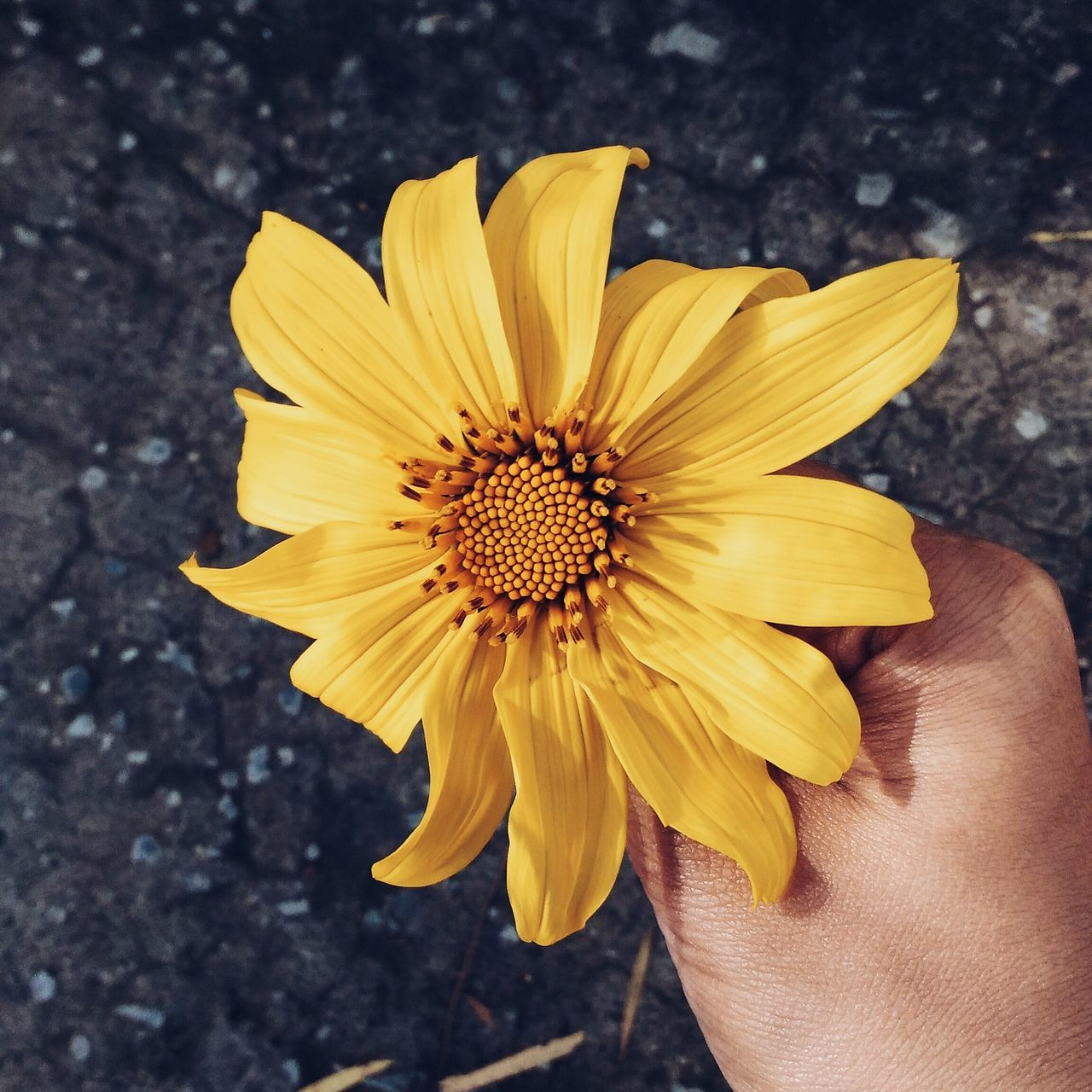 flower, petal, yellow, flower head, fragility, freshness, pollen, beauty in nature, nature, outdoors, day, growth, close-up, one person, sunflower, real people, blooming, human body part, gazania, plant, human hand