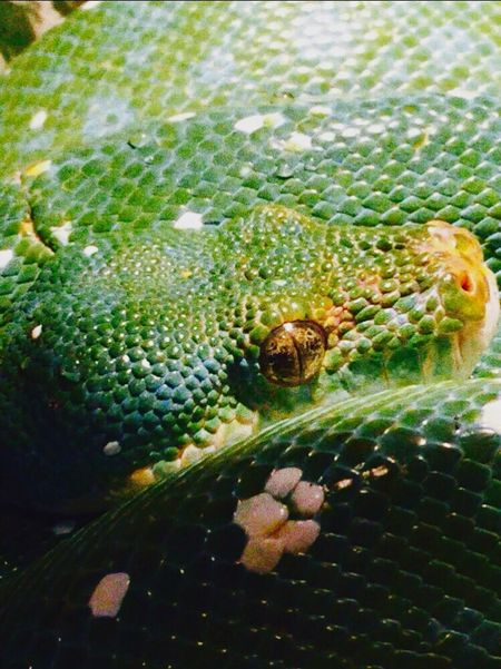 Animal Themes One Animal Close-up Animals In The Wild Wildlife Nature Green Color Reptile No People Day Outdoors Animal Wildlife Snake Yellow Eye