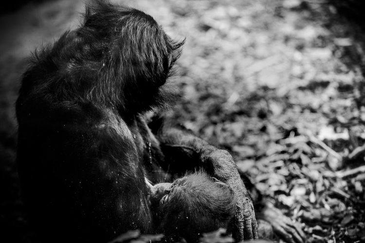 Close-up of gorilla nursing her young
