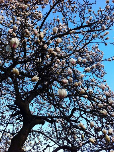 Magnolia Tree Lucca Treeislife Taking Photos EyeEmBestPics EyeEm Nature Sky And Clouds Nasoinsu Hello World Mybestshot