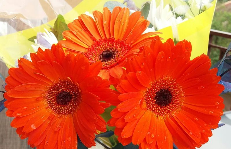 Beautiful Flower, Natural Color, Bright Orange Color Gerbera Daisy Early Morning Photography Outdoor Photography Through My Lens Perfectnature