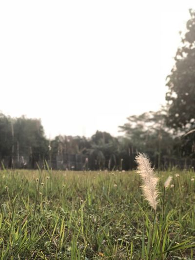 A beautifull reed Growth First Eyeem Photo Day Land Plant Nature Sky Grass Field Focus On Foreground No People Beauty In Nature
