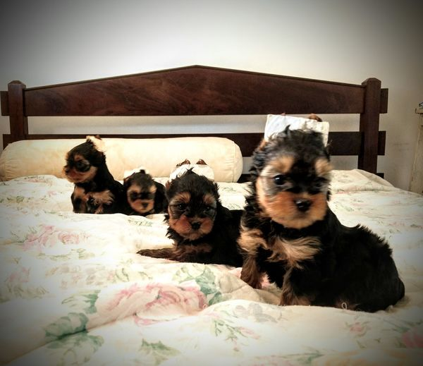 fofurices Vs cute, cute this is family Eyeem Market Pet Portraits Yorkshire Puppy Love Puppy Photography Petlovers Pets Portrait Dog Looking At Camera Togetherness Puppy Cute Yorkshire Terrier