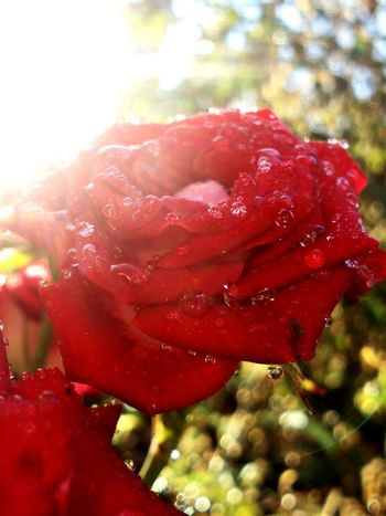 rain Red Rose - Flower