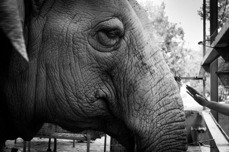 This is a female elephant who got abused her whole life, she was giving fast food and poked with a metal stick in her ears to do what she was told to do, now she lives a happy life here at the Wildlife rescue center in india. #stopanimalabuse Animal Animal Themes Elephant Rescue Abuse Wildlife India Mammal Smile Black And White Blackandwhite Bw Hand Touch Reaching Out Reach