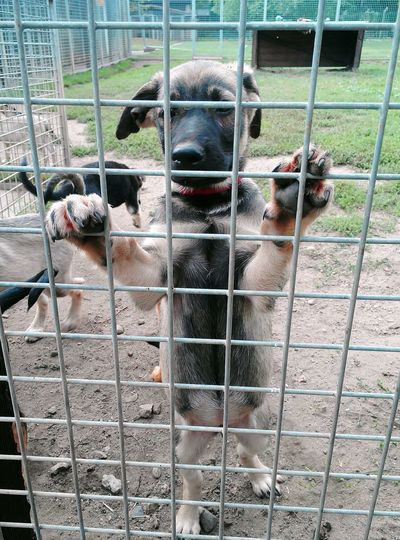 Nachwuchs im TH Shepard Dogs Puppy's Pets Cage Metal Grate