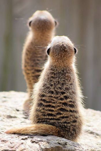 Rear view of meerkats on rock