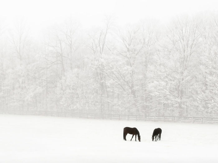 View of two horses on snow covered field