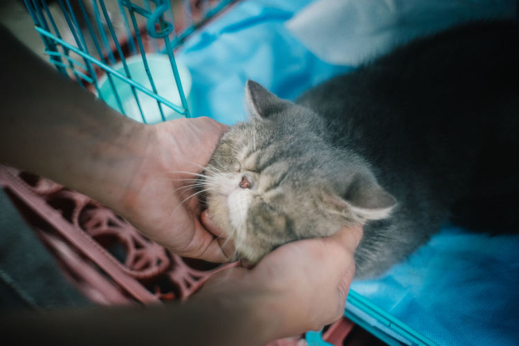 Cat Domestic Cat Mammal Domestic Feline Domestic Animals Pets One Animal Real People Human Hand Vertebrate Hand One Person Human Body Part Indoors  Unrecognizable Person Whisker Care Pet Owner Exotic Shorthair Adoption AdoptDontShop Adopt A Shelter Pet Adopt To Save A Life Pet Photography
