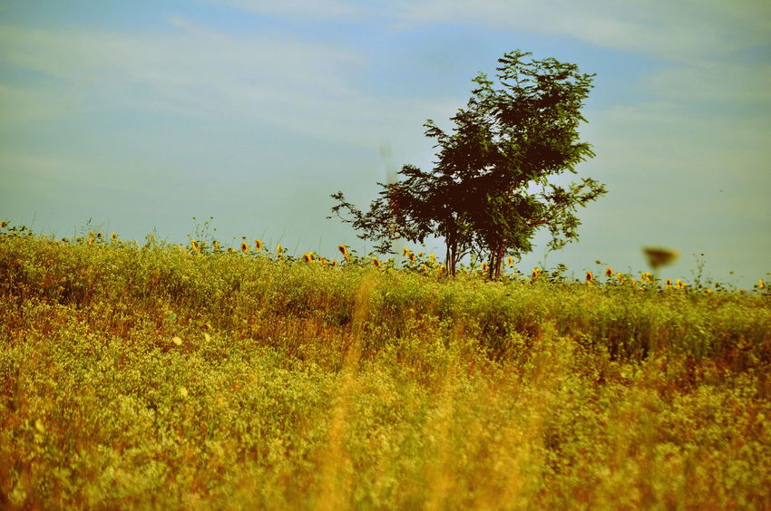 Beauty In Nature Cloud Cloud - Sky Day Field Grass Grassy Green Color Growth Landscape Motion Nature No People Outdoors Plant Rural Scene Scenics Selective Focus Sky Summer Sunflower Tranquil Scene Tranquility Travel Yellow