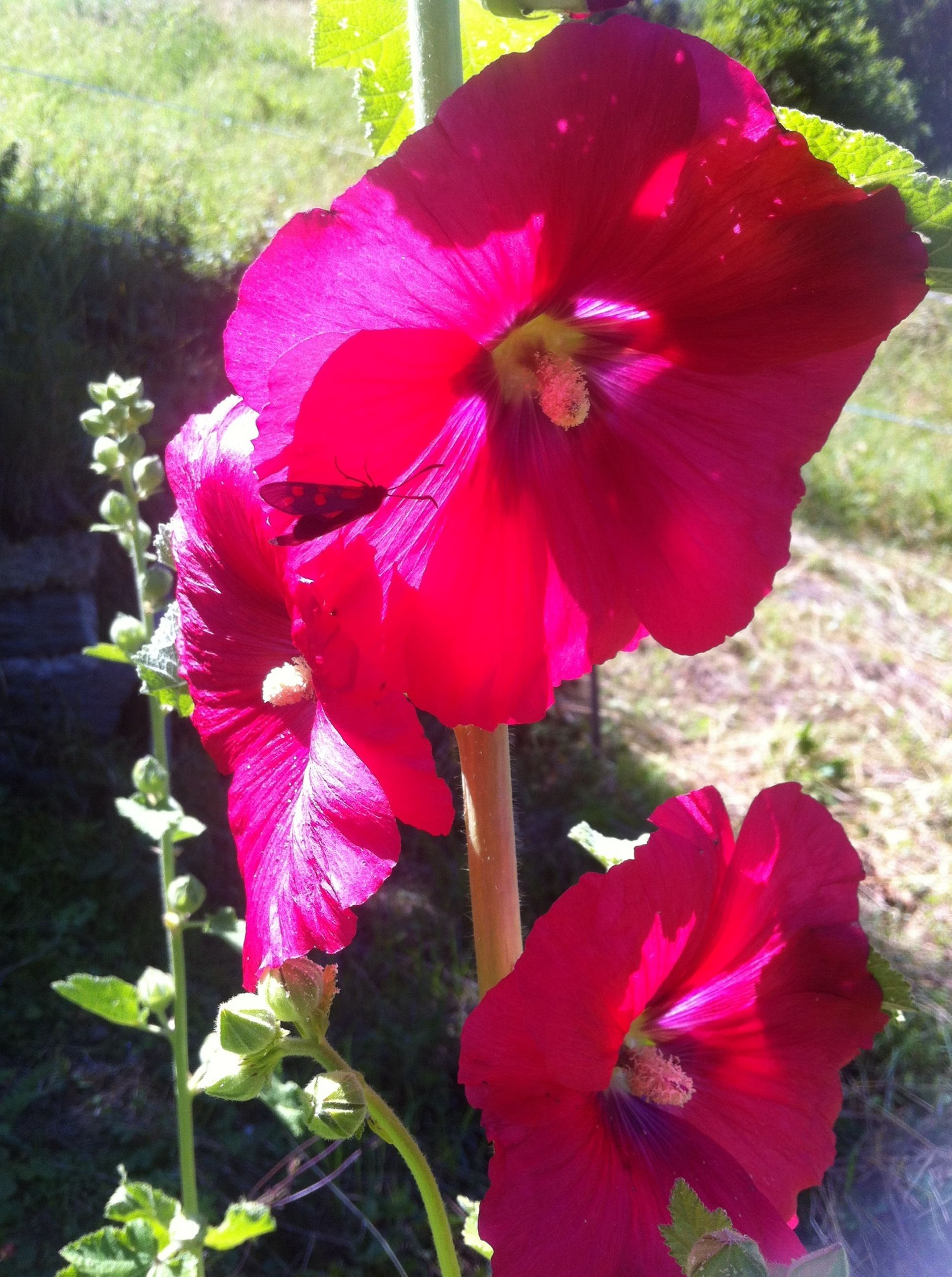 flower, petal, freshness, flower head, fragility, growth, beauty in nature, red, pollen, blooming, close-up, hibiscus, single flower, stamen, nature, plant, pink color, focus on foreground, in bloom, day