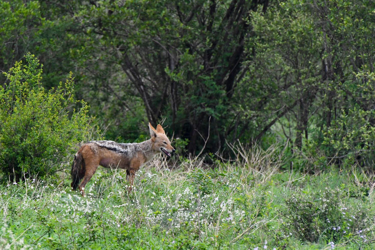Side view of a jackal with green natural background.