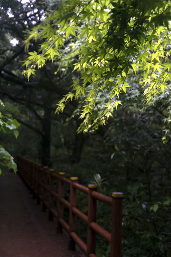rainy day of Bijarim which is a famous forest in Jeju Island, South Korea Beauty In Nature Bijarim Day Forest Growth JEJU ISLAND  Maple Nature No People Outdoors Rainy Tranquility Tree