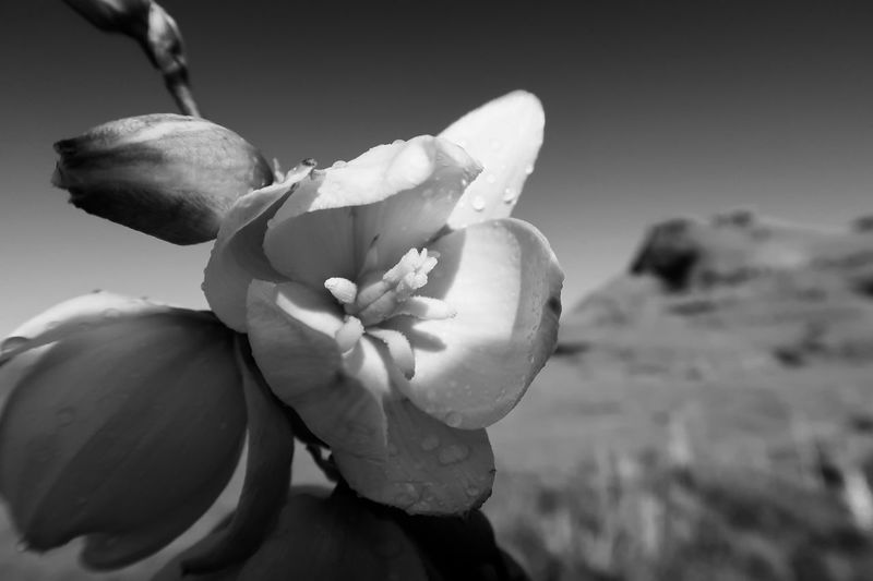 Black and white close up of desert flower Black And White EyeEm Selects Flower Flowering Plant Plant Freshness Close-up Beauty In Nature Flower Head No People Day Outdoors Sunlight Bud Land Inflorescence Nature Fragility Vulnerability  Growth Focus On Foreground Petal