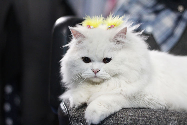 Close-up of persian cat with yellow hair clip