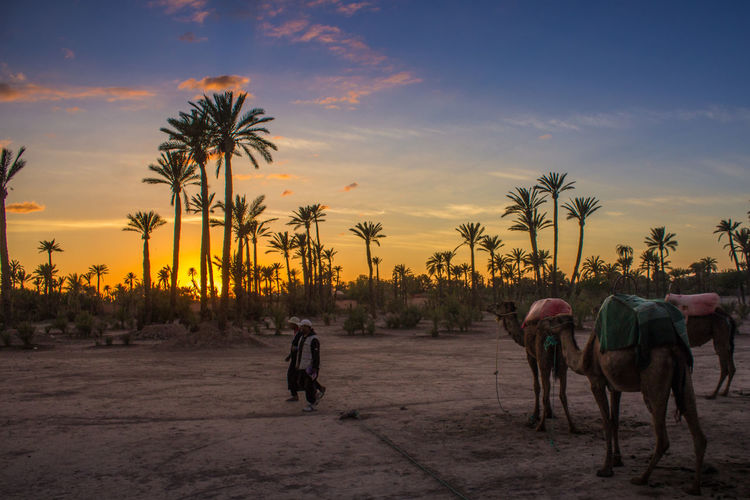 Desert sunset Domestic Animals Domestic Cattle Full Length Livestock Mammal Nature One Animal Orange Color Outdoors Palm Tree Riding Rural Scene Scenics Sky Sunset Tourism Tranquil Scene Transportation Tree Vacations Working Animals