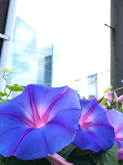 Flower Freshness Beauty In Nature Close-up No People Blue Flowers Morning Glory City Of Flower Ryukyu Morning Glory Iphone7 IPhoneography Iphoneonly