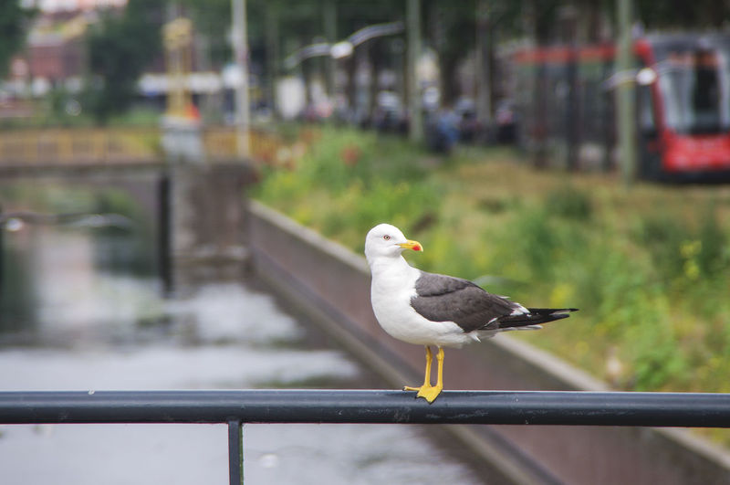 Urban Scene Animal Animal Themes Bird Canal Focus On Foreground Handrail  No People One Animal Outdoors Seagull Tramway Water