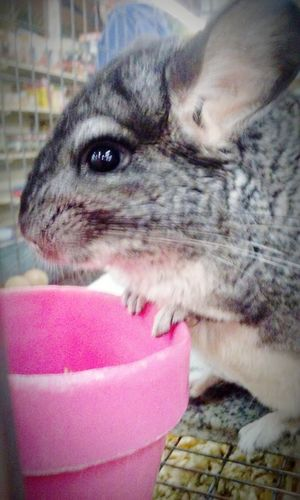 Chinchilla Big Eyes Cute