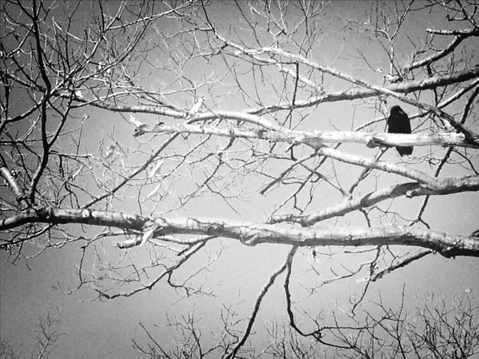 Crow Nature