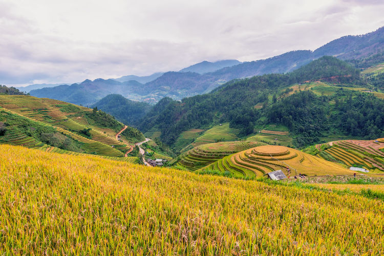 Rice terrace of Mu Cang Chai, Yen bai, Northern Vietnam Scenics - Nature Agriculture Landscape Mountain Rural Scene Environment Field Beauty In Nature Farm Crop  Land Growth Tranquil Scene Mountain Range Tranquility Terrace Cloud - Sky Terraced Field Sky Rice Paddy No People Plantation Outdoors Gardening Vietnam Mu Cang Chai Nature Rice Paddy Rice Field Landscape_photography