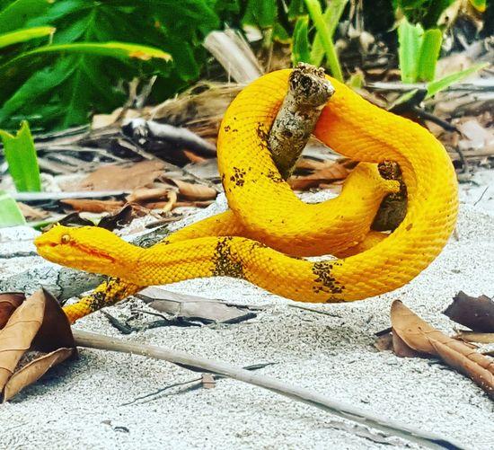 Yellow Animal