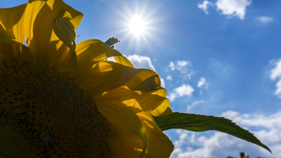 Sunflower Sky Flower Plant Flowering Plant Nature Sunlight Freshness Yellow Beauty In Nature Low Angle View Vulnerability  Growth Fragility Petal Inflorescence Flower Head Sun Sunbeam Day No People Lens Flare Outdoors Sunflower Bright