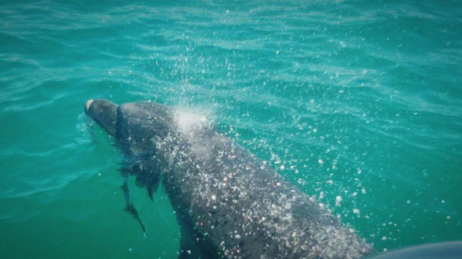 My Best Photo 2015 Dolphins Estuariodosado Portugal Golfinhos River Sea Animal Photography Vidaselvagem Wildlife Meuanimalpreferido Magic Moments LiveLifeLove Summertime Summer2015 Aovivo Dreamcametrue