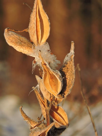 Frosty Morning. Beauty In Nature Close-up Day Flower Flower Head Focus On Foreground Fragility Golden Hours Growth Milkweed Plant Nature No People Outdoors Plant Sunlit Beauty
