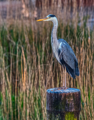 High angle view of gray heron perching on wooden post