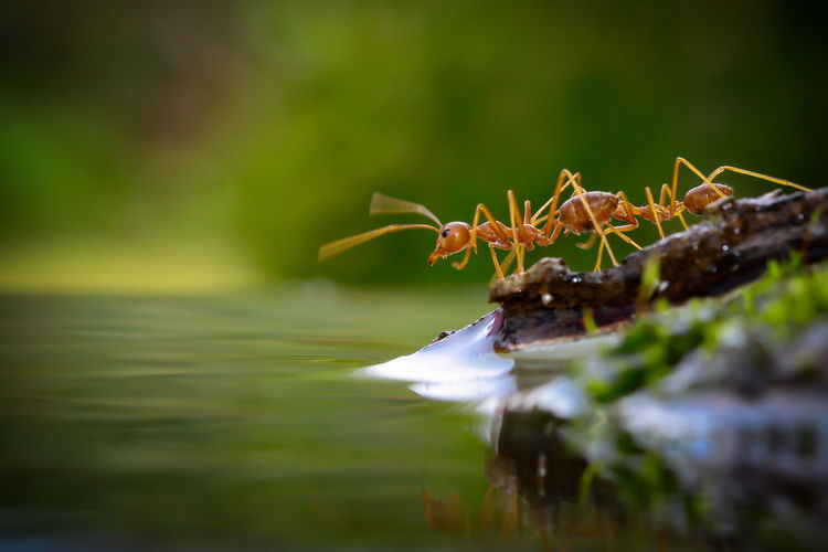 The World of Ants Selective Focus Water Close-up Plant Nature No People Beauty In Nature Growth Animal Wildlife Day Plant Part Animals In The Wild Leaf Lake One Animal Animal Green Color Outdoors Animal Themes Surface Level Macro Macro Photography Green Ant