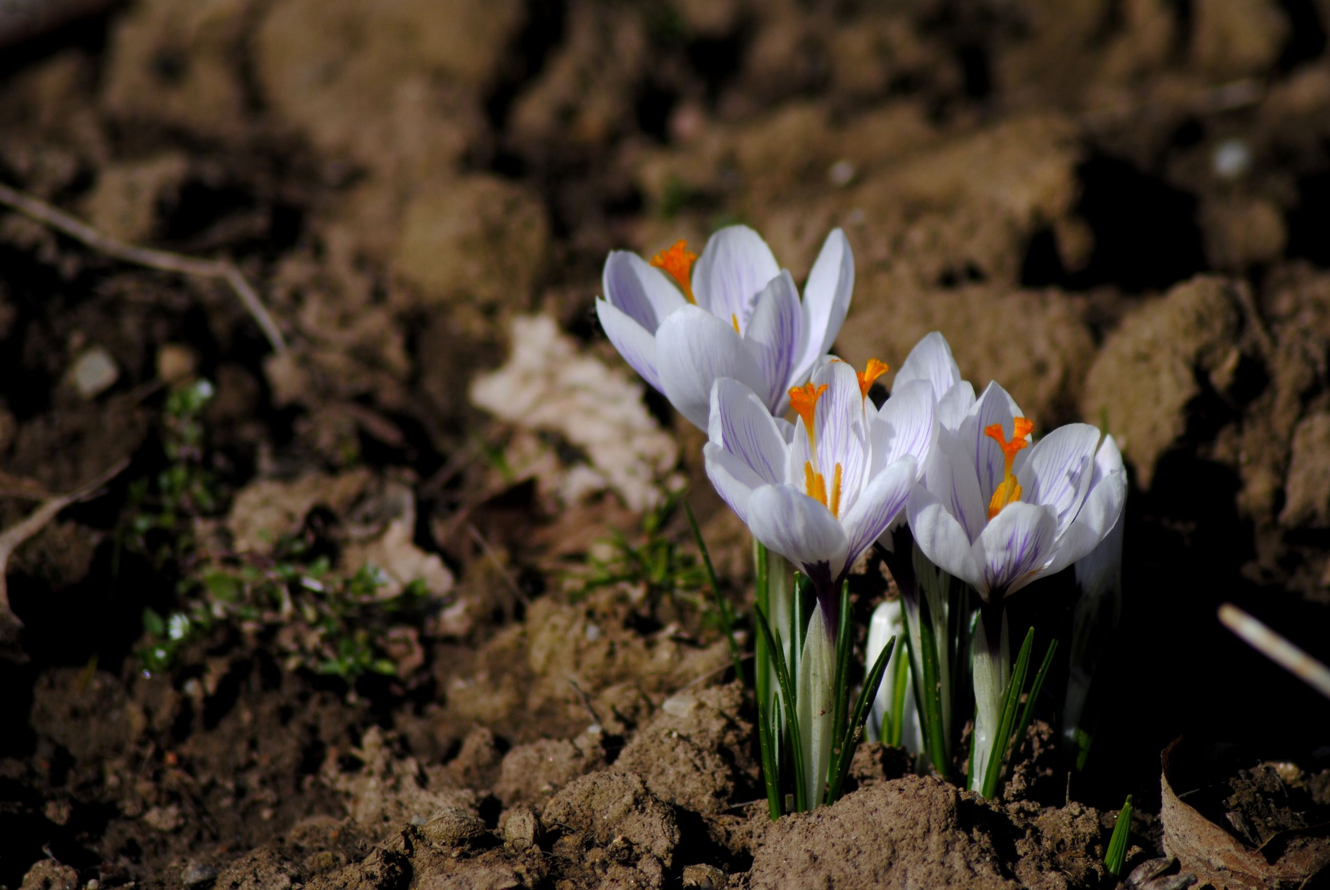 flower, nature, beauty in nature, freshness, fragility, growth, petal, flower head, focus on foreground, plant, close-up, blooming, field, outdoors, crocus, day, no people