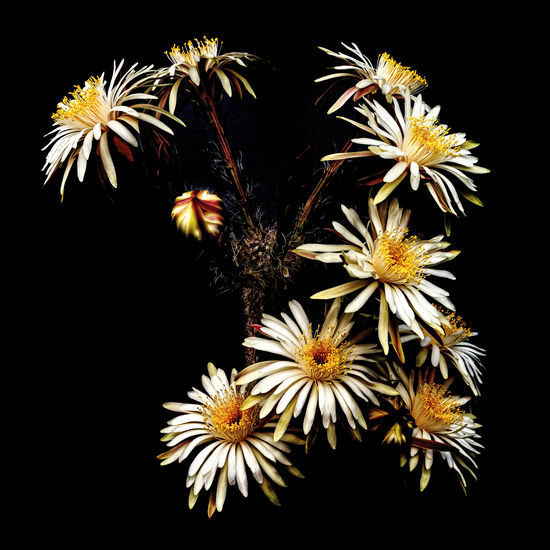 Beauty In Nature Black Background Blooming Flower Flower Head Fragility Nature Night Petal Plant