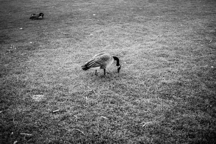 Animal Themes Animal Animal Wildlife Vertebrate Animals In The Wild Land Bird Field One Animal Grass Nature Plant Day No People Mammal High Angle View Flying Outdoors Domestic Animals Animal Family
