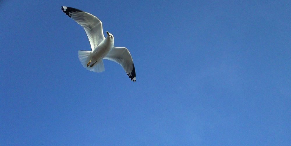 Animal Themes Animal Wildlife Animals In The Wild Beauty In Nature Bird Blue Clear Sky Day Flying Full Length Guitar Jonathan Livingston Seagull Low Angle View Mid-air Motion Nature No People One Animal Outdoors Seagull Sky Soaring Soaring Birds Soaring Up Above Spread Wings