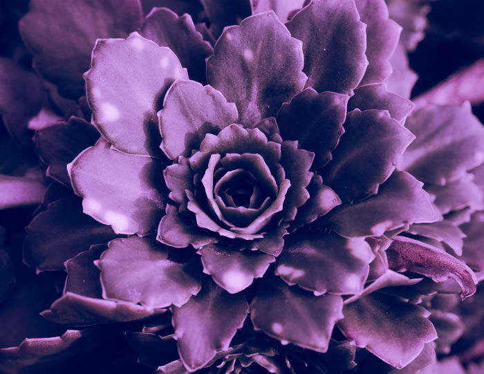 Top view of a cactus Cactus Beauty In Nature Close-up Day Flower Flower Head Focus On Foreground Freshness Inflorescence Lilac Nature No People Outdoor Petal Plant Purple Rosé Seculents Springtime Vulnerability