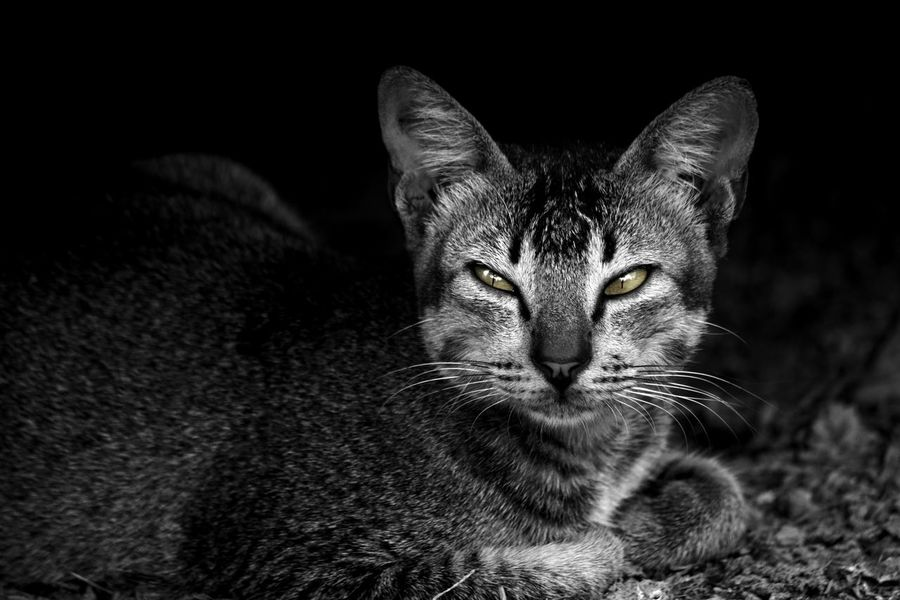 Sinis Yelow Eyes Eyes Selective Color Nikonindonesia Cat Kucing Bw Mood Photography Indonesia_photography Iamindonesia Nikond3300 One Animal Animal Themes Feline Pets Looking At Camera Black Background Domestic Animals Portrait Mammal Animal Head  Close-up No People Nature EyeEmNewHere