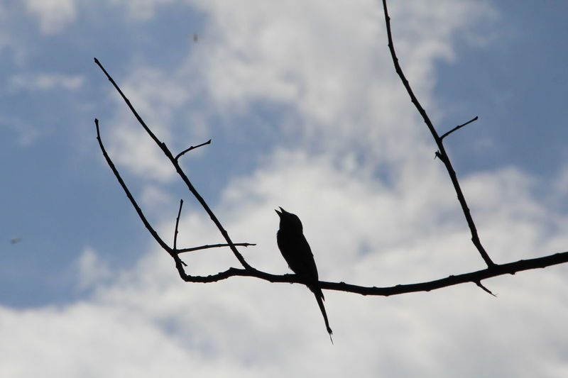 Bird Singing in a Tree in Lumphini Park in Bangkok, Thailand | Silhouette Animal_collection Capture The Moment Sky_collection Spotted In Thailand Nature's Diversities