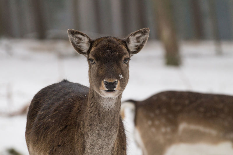 www.michaelwipperfuerth.de Deer Weather Winter Animal Animal Themes Animal Wildlife Animals In The Wild Close-up Cute Day Deers Focus On Foreground Forest Looking At Camera Mammal Nature No People Outdoors Portrait Snow