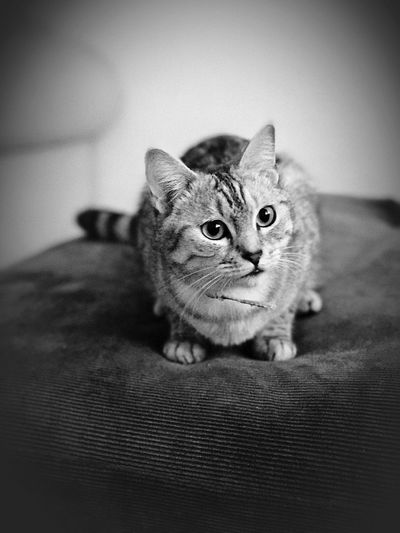 IPhone Photography Domestic Cat Pets Indoors  Feline Day Purrfect Cute♡ Portrait Peaceful Cute Cats Cute Pets Tranquil Scene Tranquility Loveable Pet Relaxing Moments IPhone7Plus IPhone 7 Photography