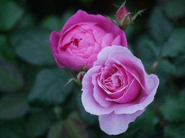 Maid Marion & Skylark, David Austin English Garden Flower English Roses Maid Marian Skylark  David Austin Roses Flower Flowering Plant Pink Color Rosé Beauty In Nature Petal Plant Rose - Flower Nature