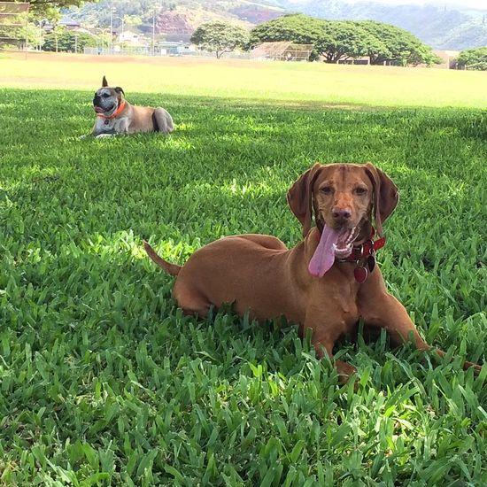 Hawaiidogs Vizsla Vizsla Life Hi! Boxersinhawaii Roxyvizsla Colojimo Hello World