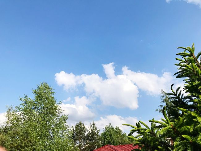 Sky Plant Cloud - Sky Tree Low Angle View Nature Growth Tranquility Outdoors Green Color Treetop Tranquil Scene Branch Sunlight Beauty In Nature Scenics - Nature Day No People Blue Copy Space