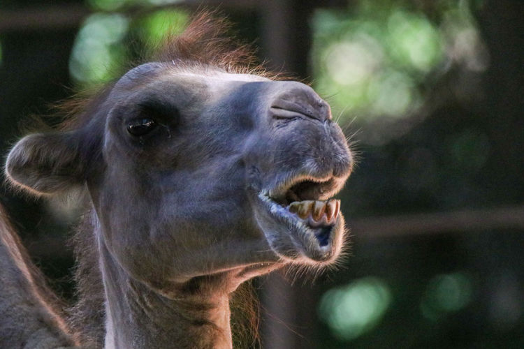 Head of a camel chewing and showing the teeth