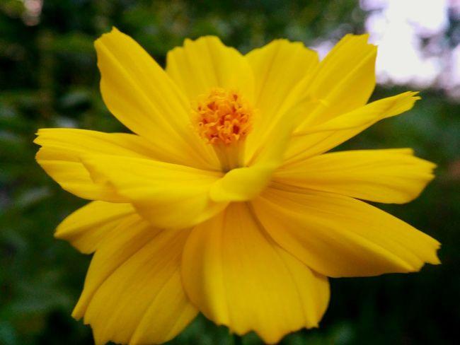 Yellow Yellow Flower Flowers Plant Cosmos Flower