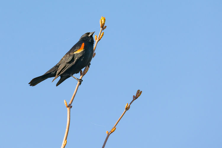 Low Angle View Of Red-Winged Blackbird Perching On Branch Against Clear Blue Sky